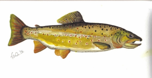 Watercolour of Trout